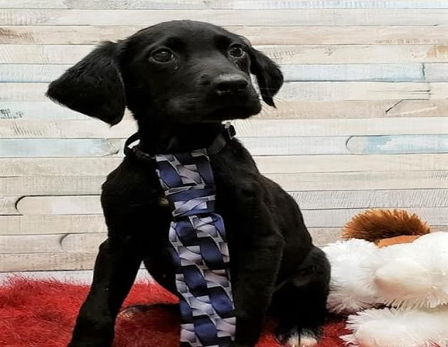 Pet of the Week: Patrick the Labrador/English Setter Puppy