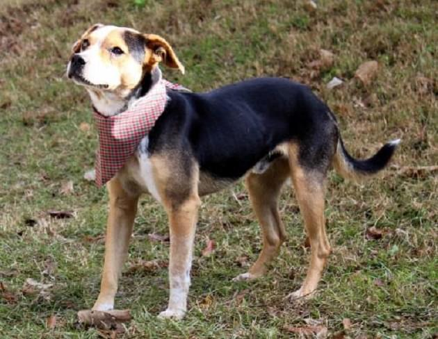 Pet of the Week: Georgie the Beagle/Heeler Mix Dog [PHOTOS]
