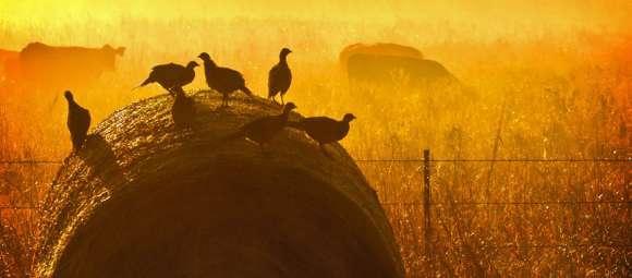 Pheasant Hunting Season Starts Saturday