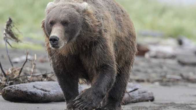 An Alaskan Bear Bit A Woman From Inside An Outhouse Toilet