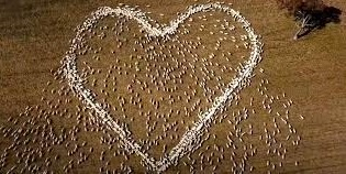 Farmer honors his late aunt by forming a heart with a sheep flock