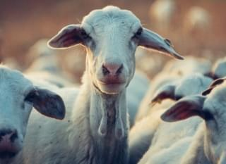 San Jose Overrun by Escaped Goats