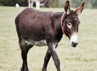Farm Rents Out Mini Donkeys To Crash Video Calls