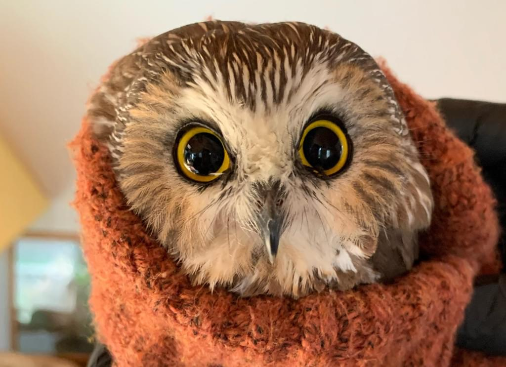 Rockefeller The Owl – Ravensbeard Wildlife Center Interview 11-19-20