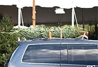 featured AAA Christmas trees