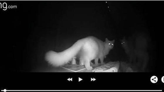 WEIRD NEWS: Cat Burglar
