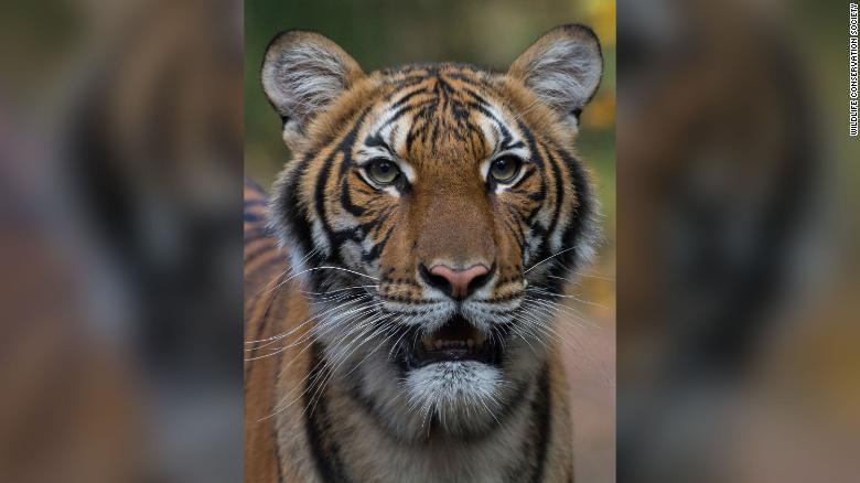 CORONAVIRUS: Bronx Zoo Says a Tiger Tested Positive