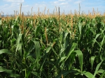 Corn Growers Association Pleased with New Trade Agreement