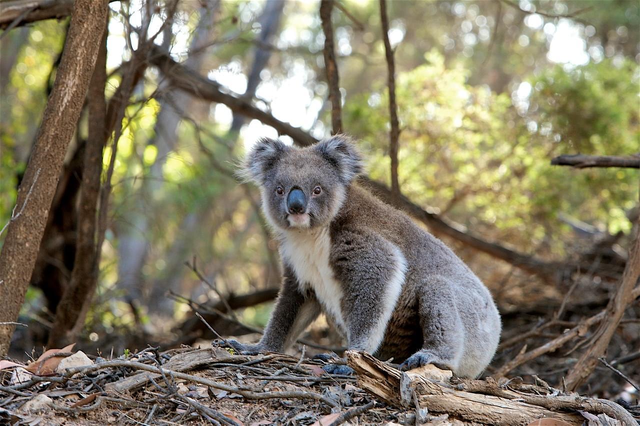 Koala-1835689_1280