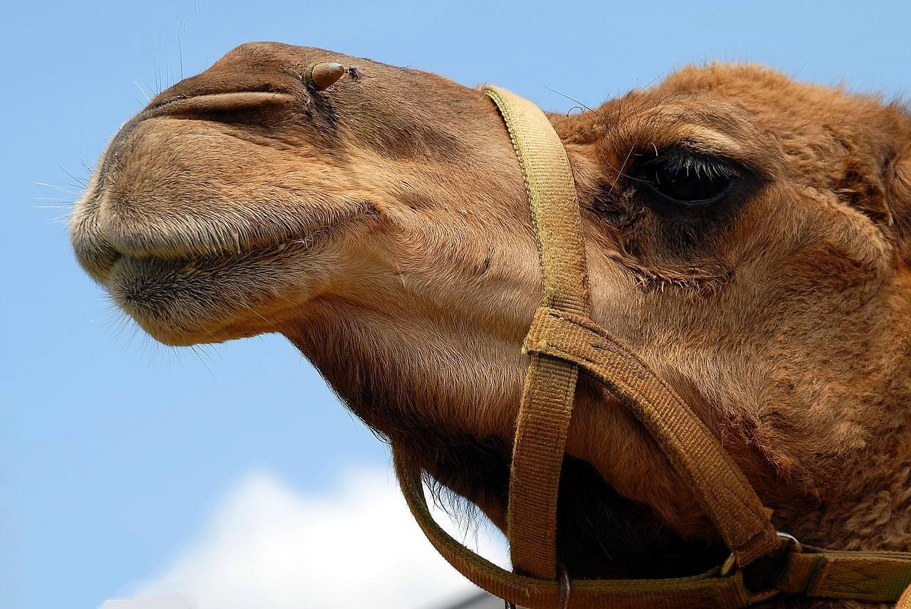camel-1624643_1280 (1)