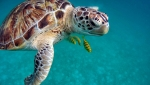 Watch Scuba Divers Save Sea Turtle Tangled in Net