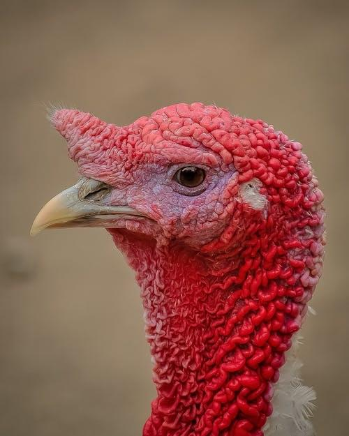 turkey-profile-picture-bird-53460