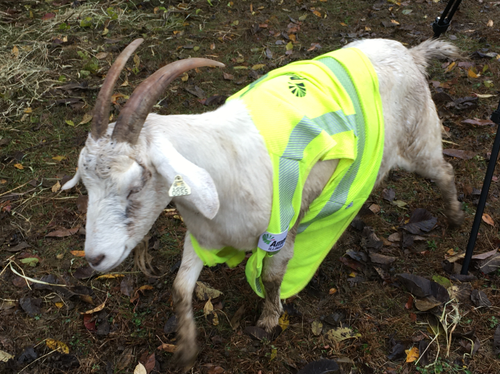 Ameren Illinois Gives Goats Right-of-Way to Clear Vegetation